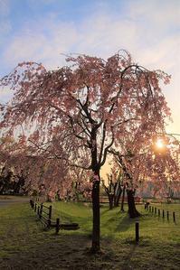 しだれ桜の咲く公園#3 - Bamboobooのひとりごと