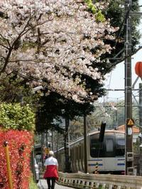 4/15、北鎌倉の桜 - 某の雑記帳