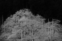 宇野千代が愛した薄墨桜 - 父ちゃん坊やの普通の写真その2