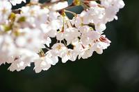 桜 vs ライトグレー三銃士 その2 - Jester's Pictures