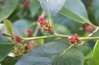 ■ 木の花 3種   17.4.18   (イスノキ、ゲッケイジュ、クロミジ) - 舞岡公園の自然2