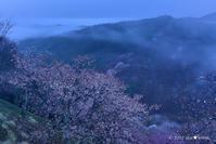 一躍の春:6:霧の下千本 - walk with my Camera