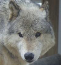4月8日の円山動物園のオオカミとアフリカゾーン - 黄金絹毛鼠(コガネキヌゲネズミ)