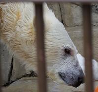 4月8日の円山動物園のホッキョクグマ - 黄金絹毛鼠(コガネキヌゲネズミ)