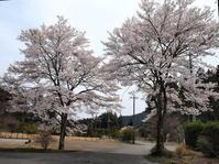 満開の桜!! - 自然の中でⅡ