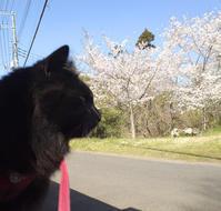 チョコ坊、春のお庭にゃんぽ♪ - 晴れのちチョコ坊、にゃんぽ日和!
