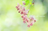 アケビ - 花々の記憶