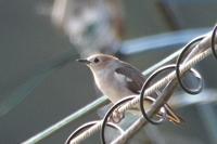コムクドリ - poiyoの野鳥を探しに