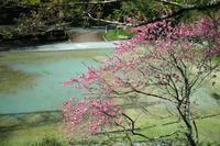 遅咲きの桜 - ぴんの助でございます