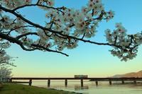 鉄橋の桜 - 今日も丹後鉄道