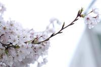 桜ぎゃらりと結婚記念日におもうこと - A M R i T A   /  ア ム リ タ