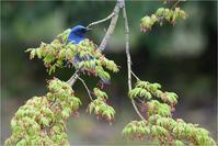 鮮やかブルー@オオルリ - とことんデジカメ ♪野鳥写楽