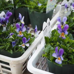 ビオラ系色々第二弾 - sola og planta ハーブとお花のお庭日記