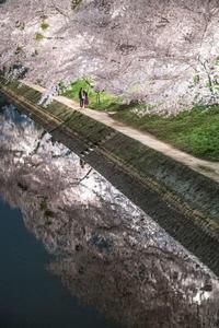 愛知県岡崎市 岡崎公園 桜 ライトアップ 2017.4.10 - 中部地方風景写真