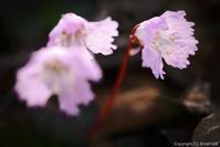 岩に宿る花 - ひつじ雲日記