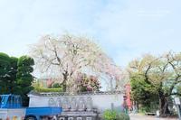 お寺の枝垂れ桜 - カメラをもってふらふらと