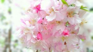 東京広尾のしだれ桜~・``☆、。・:・゚`☆ - Beautiful Japan 絵空事