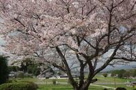 明日香 惜桜(せきおう) - ぶらり記録(写真) 奈良・大阪・・・