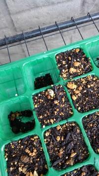 枝豆の芽 - うちの庭の備忘録 green's garden