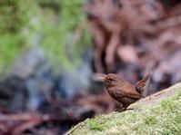 渓谷のミソサザイ   HNK - シエロの鳥ノート