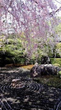 圧倒的桜。2017❤ 京都の桜&ちょこ家地方の桜&ちょこ家の桜 - ちょこ家の日々