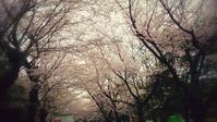 すっかり遅くなりましたが、桜 - pantaya2_カエルの体操