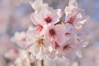 桜まつり - like a rabbit ~ なんとなく、lonely?