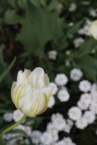 今日の庭 早咲きのチューリップ - シェーンの散歩道
