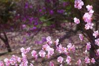 アカヤシオに染まる♪・・・赤城自然園 - 『私のデジタル写真眼』