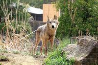 サブ放飼場のオオカミたち - 動物園放浪記