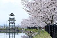 唐古遺跡の桜  /  FUJINON XF 90mm F2 R WR - HarQ Photography