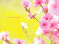 花桃に誘われ - Photographie de la couleur