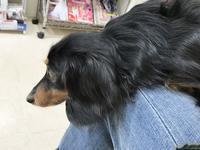17年4月19日 桃子健康診断! - 旅行犬 さくら 桃子 あんず 日記