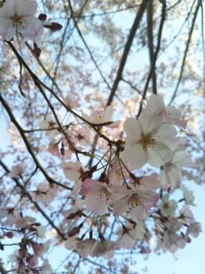 桜いろいろ - しがない社会福祉士(ジャズ・ピアニスト)、オギワラくんの日々