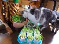 猫草待ち爪研ぎ - ねこっかぶりねこ2