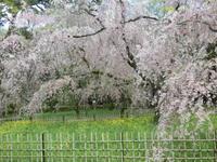京都御所・名残の桜に感動しました。 -  「幾一里のブログ」 京都から ・・・
