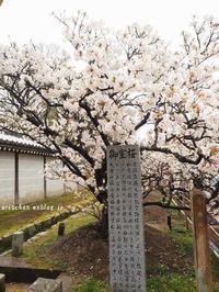 仁和寺参拝@お室の桜 - アリスのトリップ
