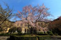京のさくら2017 京都府庁旧本館の枝垂れ桜 - ぴんぼけふぉとぶろぐ2