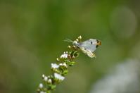 ツマキチョウ 4月18日 - 超蝶