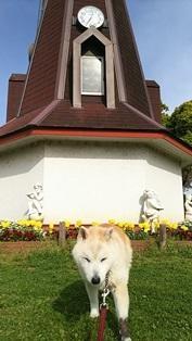 サトザクラ&さくら草 @都立浮間公園 - 柴犬 はなとわ日記
