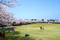 桜が満開です。 - 【美善ブログ】もっとご飯を食べよう。