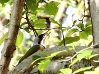 アオゲラ - 西多摩探鳥散歩