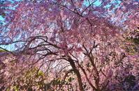 日本の春は桜の国 5 - 天野主税写遊館