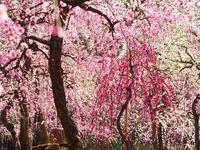 枝垂れ梅咲く城南宮 - 徒然彩時記