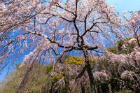 京都の桜2017 出水のしだれ桜(京都御苑) - 花景色-K.W.C. PhotoBlog
