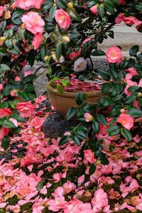 五色八重散椿・満開(地蔵院椿寺) - 花景色-K.W.C. PhotoBlog