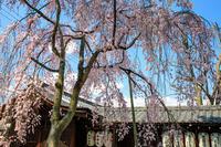 京都の桜2017 縣神社の木花桜 - 花景色-K.W.C. PhotoBlog