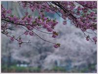 不忍池・桜-1   041) - 趣味の写真 ~オリンパスE-M1MarkⅡとE-M1、E-5とたまにフジフィルムXZ-1も使っています。~