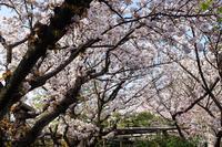 京都の桜 2017 〜雨宝院〜 - ◆Akira's Candid Photography