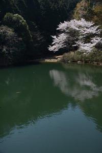 さくら 池の面(おも) - (=^・^=)の部屋 写真館